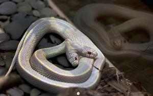 Bizarro: Cobra rara de duas cabeças - Fotos